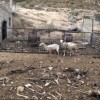 200 Goats Starved to Death