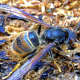 Died from Asian Hornet Sting