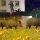 Porcine Visitors
