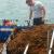 Looming Seaweed Problem