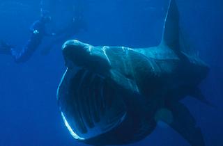 LHR Basking Shark Sighted