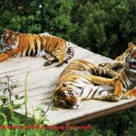ALM Bengal Tigers OnL