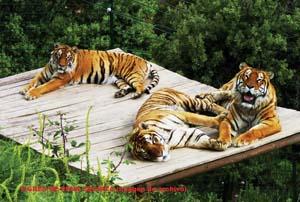 ALM Bengal Tigers OnL