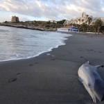 ALM Calabajio Dead Dolphin