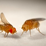 FTR drosophila melanogaster wine flies