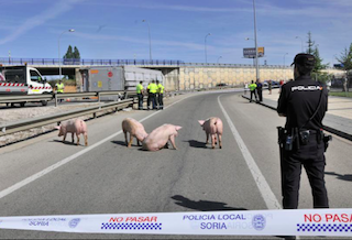 SPN Pigs on Roundabout