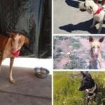 ALP Stolen Dogs