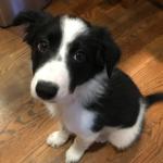 MOT Border Collie Pup