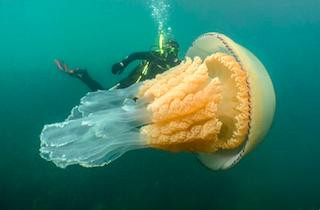 MOT Gigantic Jellyfish+