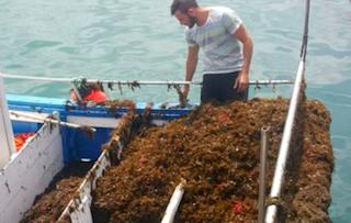 COS Japanese Seaweed