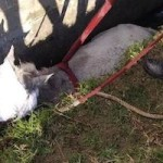 SAL Horse Rescued