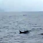 LHR Dolphins off Punta de la Mona