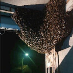 SPN Bee Swarm in a Lorry