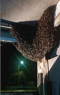 SPN Bee Swarm in a Lorry