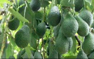 COS Aguacates Avocados Subtropical Fruit