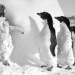 GRA Frozen Penguins