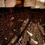 GRA Bee Swarm in the Wall 12MR21