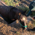 GRA Vega Trapped Horse Rescued
