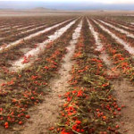GRA Destroyed Crops in Huescar Don Fadrique
